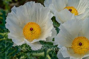 White Poppy Wildflowers