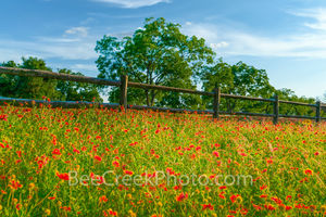 wildflowers, fence, texas hill country, field of texas wildflowers, hill country, indian blanket,fire wheel , red, spring, blue sky,