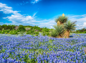 Bluebonnets, bluebonnet, blue bonnets, yucca, cactus, Texas, blooming, Texas Hill Country, Texas flowers, texas wildflowers, nature, rural, springtime, spring flowers, bluebonnet landscape, central te
