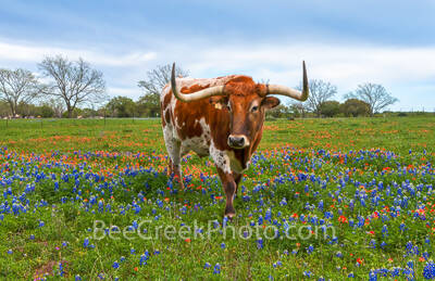 bluebonnets, indian paintbrush, wildflowers, texas wildflowers, texas bluebonnets, longhorns, texas hill country, cattle, herd, steers, horns, hill country, bluebonnets in the texas hill country, wild