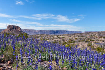 Big Bend National Park, image of bluebonnets, Cerro Castillian, Santa elena Canyon, mountains, desert, big bend, texas bluebonnets, Big Bend Bluebonnet, Big Bend Lupine, Havard Bluebonnet, Chisos Blue