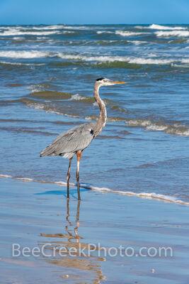 Blue Heron Fishing Gulf of Mexico