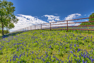 bluebonnet, fence, landscape, blue sky, white puffy clouds, large trees, bluebonnet landscape, wildflowers, Ennis, beecreekphoto, Tod Grubbs,