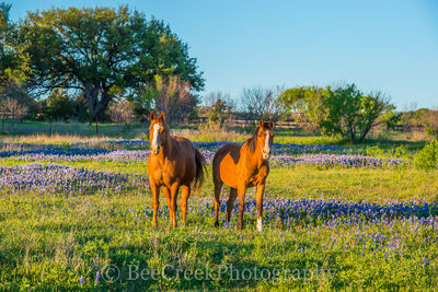 bluebonnets, blue bonnets, wildflowers, horses, landscape, field, pasture, Texas, Texas hill country,,