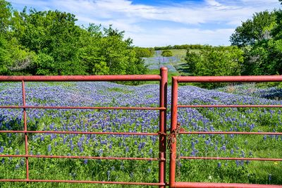 bluebonnets, bluebonnet at the gate, texas, Ennis, road, ranch, wildflowers, image of bluebonnets, pictures of bluebonnets, lupines,
