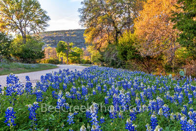 bluebonnets, texas bluebonnets, bluebonnet, wildflowers, texas wildflowers, texas hill country, llano, willow city loop, backroads, hill country, golden glow, sun, road, road side bluebonnets, road si