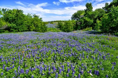 Bluebonnets Over the Hill