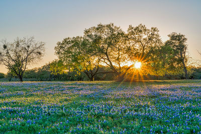 bluebonnets, bluebonnet field, lupine, mesquite, sunset, rays, wildflowers, photographed, legislature, state flower, Texas, Texas hill country, Lady Bird Johnson, Highway Beautification Act,