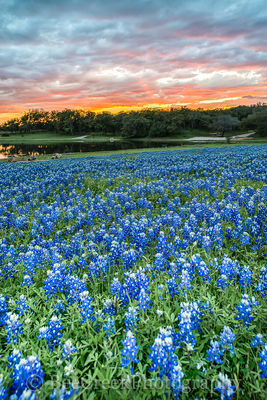 bluebonnets, bluebonnet, wildflowers, wildflower, sunset, firey, sky, colors, colorful, clouds, Texas Flowers, Texas wildflowers, Texas, flauna, flora, flowers, images of texas, landscapes,