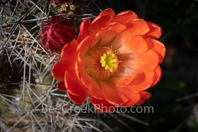 Cactus Flower 2