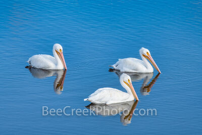 Coastal White Pelican Trio