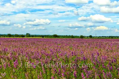 lemon horsemint, horsemint, flowers, lavendar, purple, pink, field, farmland, crop, farm land, texas hill country, landscape, texas landscape, commercial crop, seeds, plant, bloom,