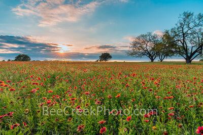 Firewheels Wildflowers at Sunset