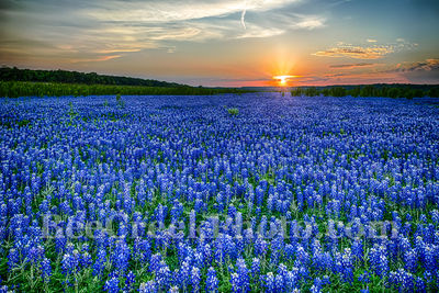 Heavenly Texas Hill Country Blue Bonnets