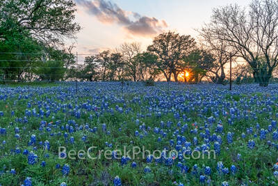 hill country bluebonnets, sunset, texas hill country, bluebonnets, bluebonnet wildflowers, texas hill country bluebonnets, texas hill country wildflowers, texas, bluebonnet landscape, texas bluebonnet