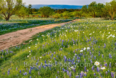 texas bluebonnets, bluebonnet, bluebonnets, texas wildflowers, poppies, wildflowers, texas hill country, hill country, texas, images of bluebonnets, images of wildflowers, dirt road, ranch road,