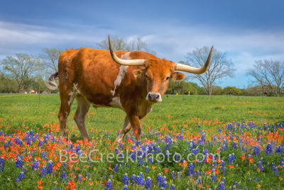 bluebonnets, texas bluebonnets, indian paintbrush, wildflowers, texas wildflowers, longhorns, Longhorns in Wildflowers, texas hill country,  field of bluebonnets. cattle, herd, steers, horns, hill cou