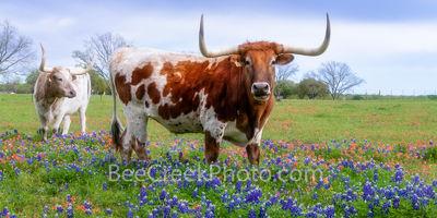 Longhorns Close Up in Wildflowers