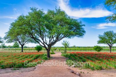Path Through the Poppies