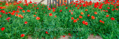 Red Poppies at the Fence Pano