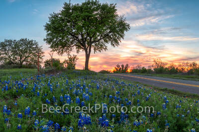bluebonnets, wildflowers, sunset, tree, texas landscape, llano, texas, spring, rays, texas bluebonnets, bluebonnets in the texas hill country.  wildflowers in the texas hill country, sunset in texas h