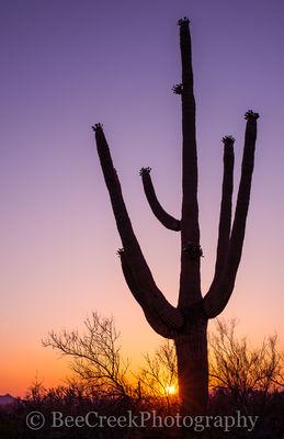 Saguaro in Tucson