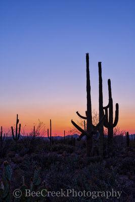 Saguaros at Dusk
