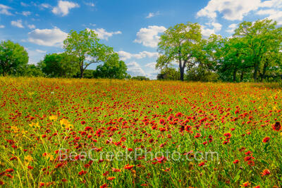 texas wildflowers, wildflowers, spring, flowers, indian blankets, yellow, bear foot, aster, landscape, wildflower landscape, ranch land, texas hill country, hill country, red, texas landscape,
