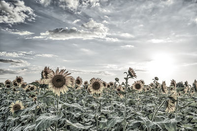 Sunflowers, sunflower, giant sunflowers, field, crop, black and white, seeds, sky, clouds, texture, black and white, bw, almost black and white, monochromatic,