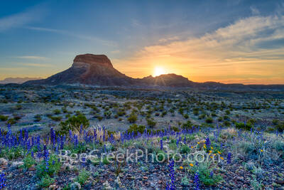 Bluebonnets, blue bonnets, sunrise, big bend bluebonnets, images of bluebonnet, pictures of bluebonnets, texas wildflowers, texas bluebonnets, Big Bend National Park, Big Bend, landmark, pics of texas