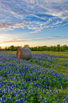 Texas Bluebonnets and Hay Bales Vertical