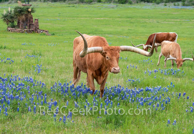 Keywords:Bluebonnets, texas bluebonnets, Longhorns, cows, steers, hill country, Texas hill country, Llano, Texans, wildflowers, green grass,
