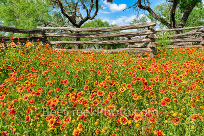 Texas Firewheels Along the Fence