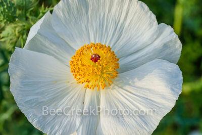 Texas Prickly Poppy