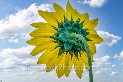Texas Sunflower with Sky Macro