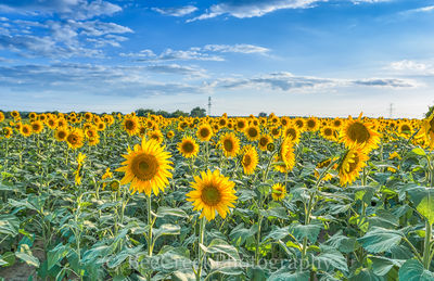 Sunflowers, fields, blue sky, clouds, leafs , tall stalks, back lit, blue sky, sun, flora, pedals, yellow, giant sunflowes, landscapes,