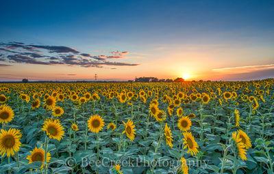 Texas Sunflower Sunsets
