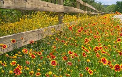 Texas, wildflowers, fence, indian blanket, firewheels, yellow, red, Damianta, Texas Hill country, back roads, summer, colorful, wooden fence, spring, yellow wildflowers, landscape, texas wildflower,