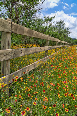 Texas, wildflowers, fence, indian blanket, firewheels, yellow, red, Damianta, Texas Hill country, back roads, summer, colorful, wooden fence, yellow flowers, spring,