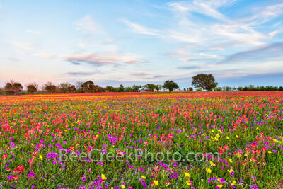 wildflowers, texas wildflowers, wildflowers in texas, bluebonnets, indian paintbrush, yellow daisys, phlox, texas, central texas, texas, floral, flowers, plants, usa, colorfuwildflowers,,backroads, vi