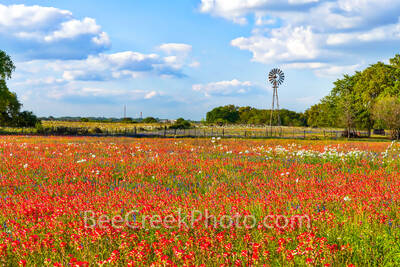 texas wildflowers, windmill, texas, indian paintbrush, poppies, colors, reds, white, texas landscape, images of texas, pictures of texas,  wildflowers in texas, red flowers, floral, plants.  texas wil