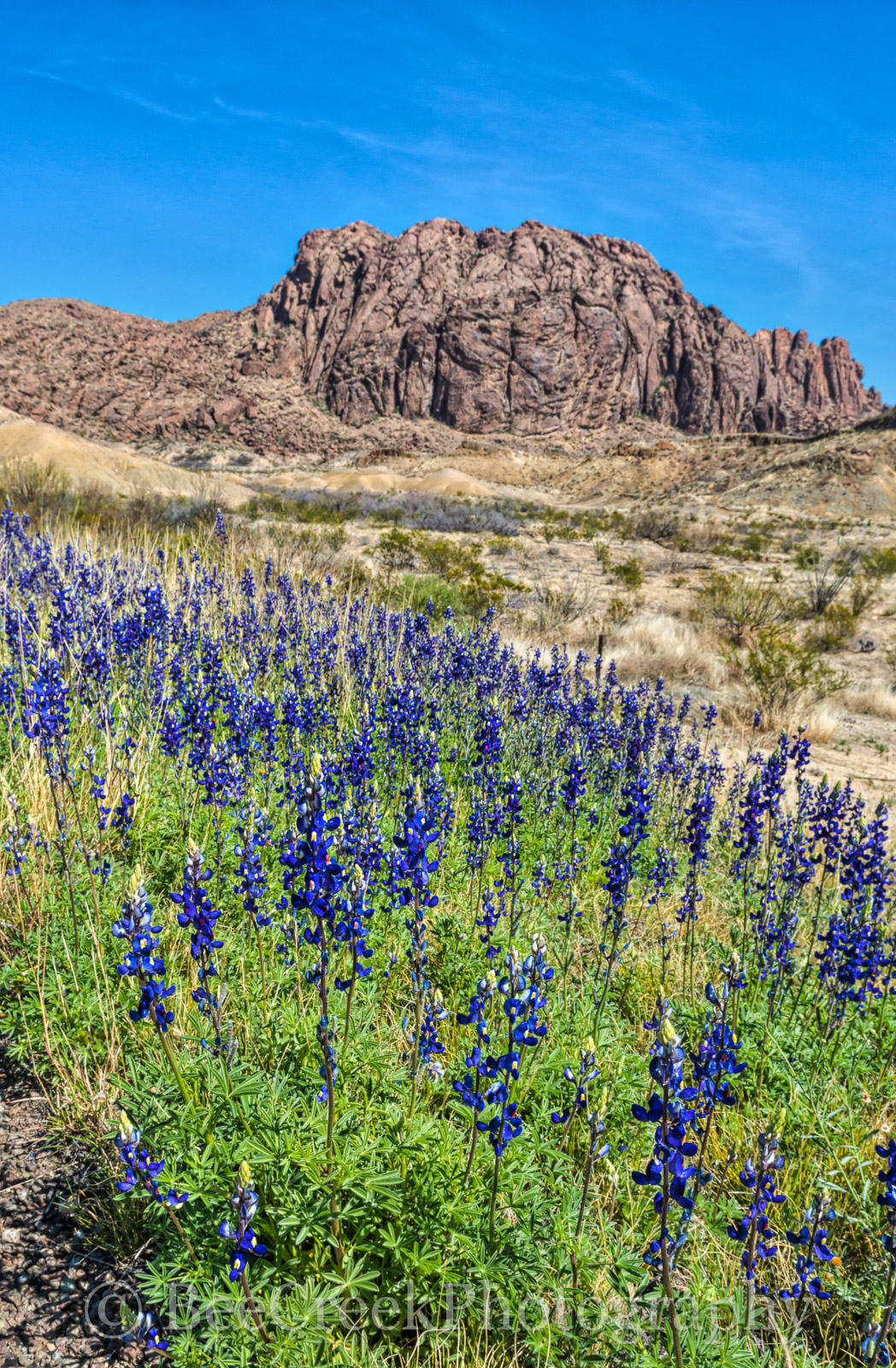 big bend, bluebonnets, deep blue, flowers, park, spring, texas, photo