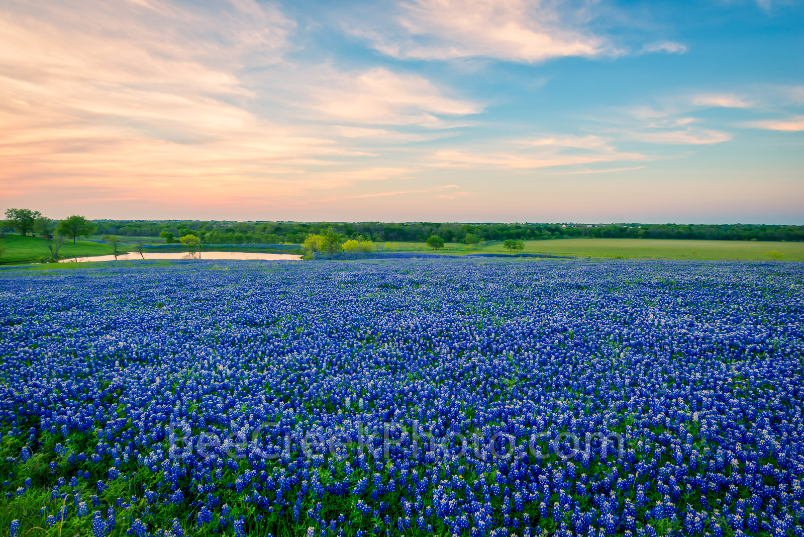 Bluebonnet images, pictures of bluebonnets, Texas Bluebonnets, bluebonnet sunset, bluebonnets, sunset,  texas, fileld of bluebonnets, image of bluebonnets, pictures of bluebonnets,  photos of texas, t, photo