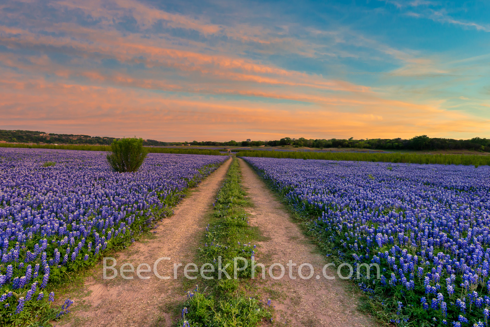 Bluebonnets, bluebonnet, blue bells, blue bonnets, sunset, colorful sky, Muleshoe Bend Park, river bluebonnets, Texas bluebonnets, bluebonnets in texas, field of bluebonnets, bluebonnets landscape,, photo