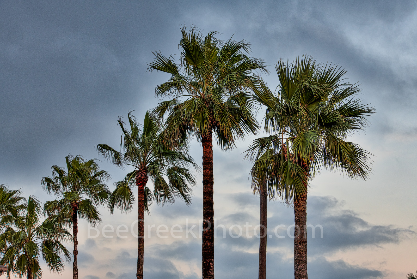 Gulf Coast, padre island palms, queen palms, southern us, moody skies, Texas,, photo