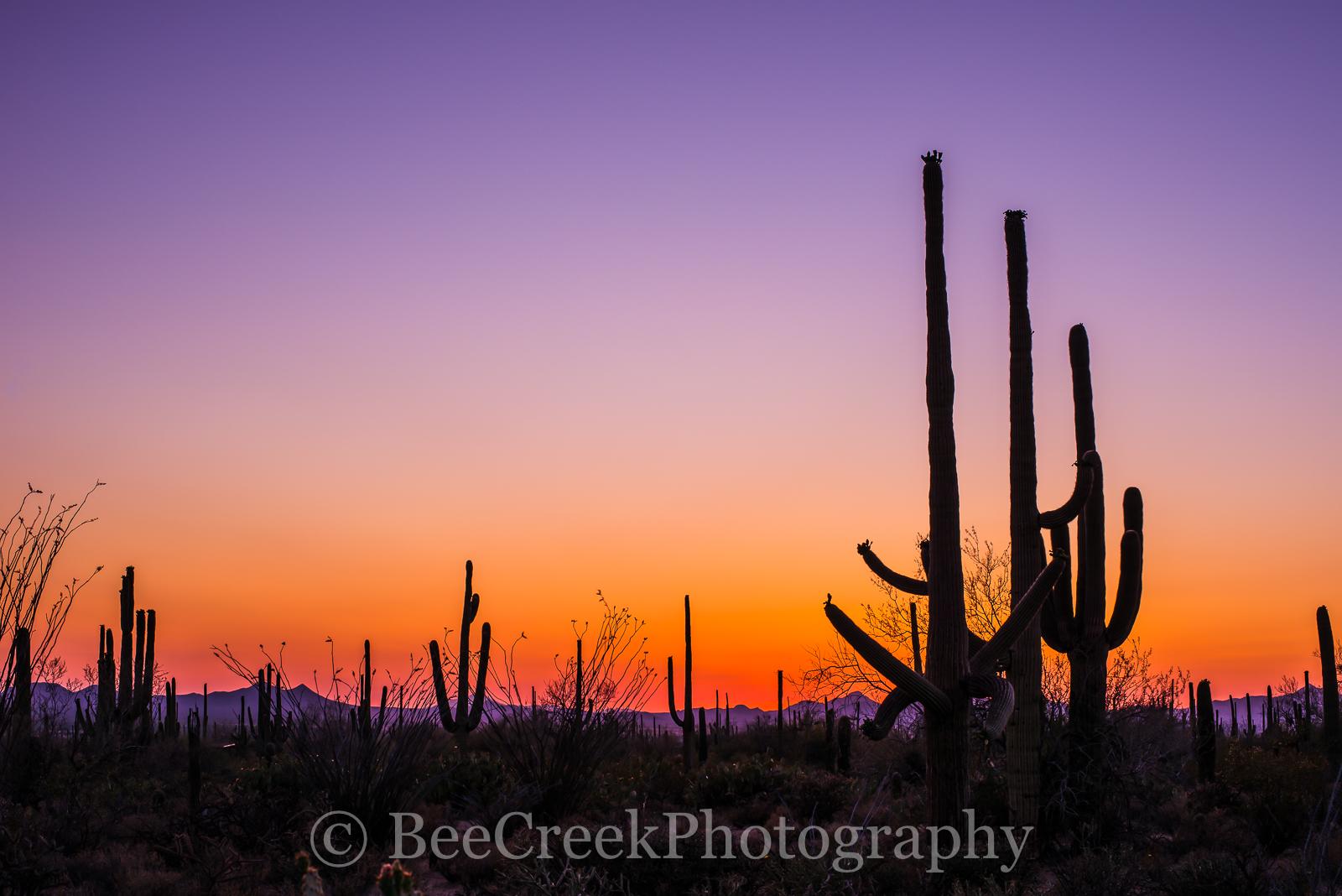 tucson saguaro cactus, sunset, landscape, landscapes, tucson cati, tucson flora, desert, images of tucson, photographs of tucson, tucson, tucson skyline, tucson, arizona photographs, saguaros, saguaro, photo