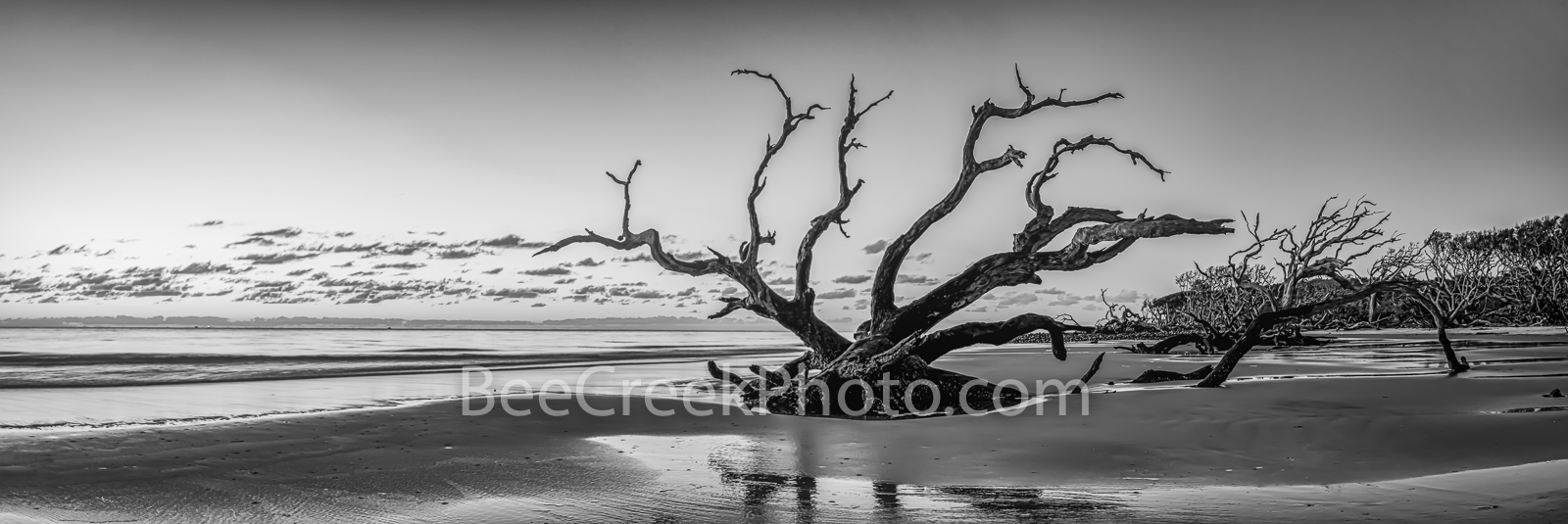 Sunrise at Driftwood Beach Pano BW - Jekyll Island driftwood beach with trees in the sand at sunrise as a black and white panorama...
