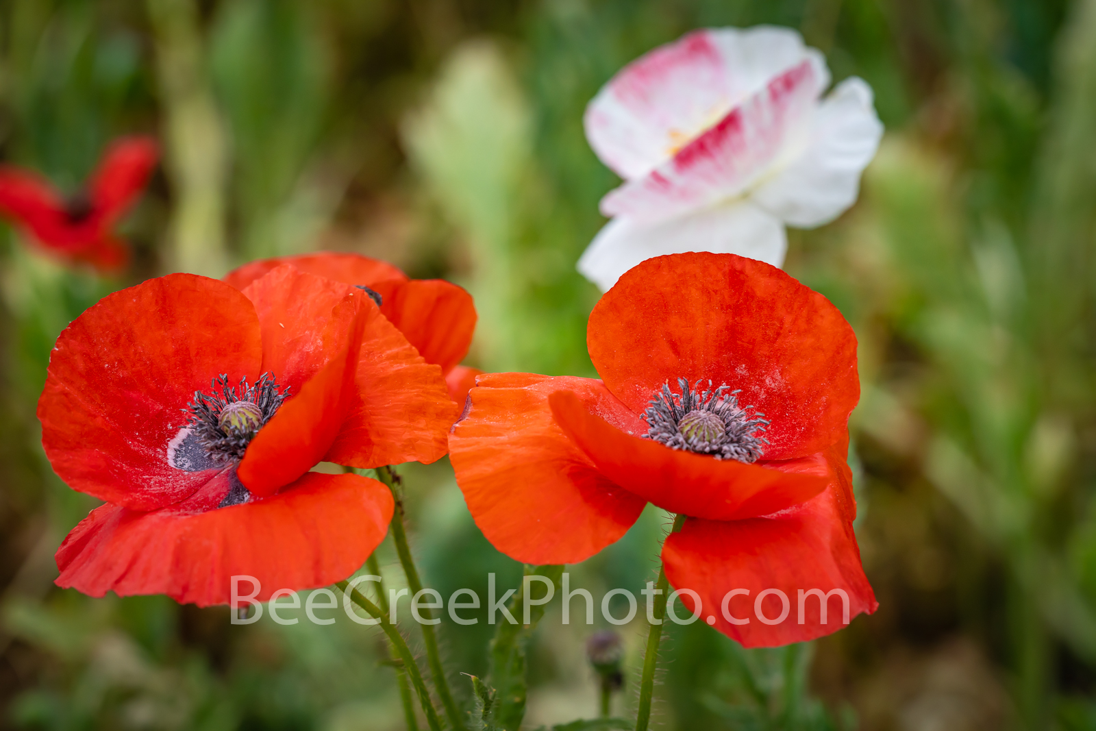 Poppie Close Up - A couple of red corn poppies and a pink poppy in this field of poppies flowers. Some also call these the common...