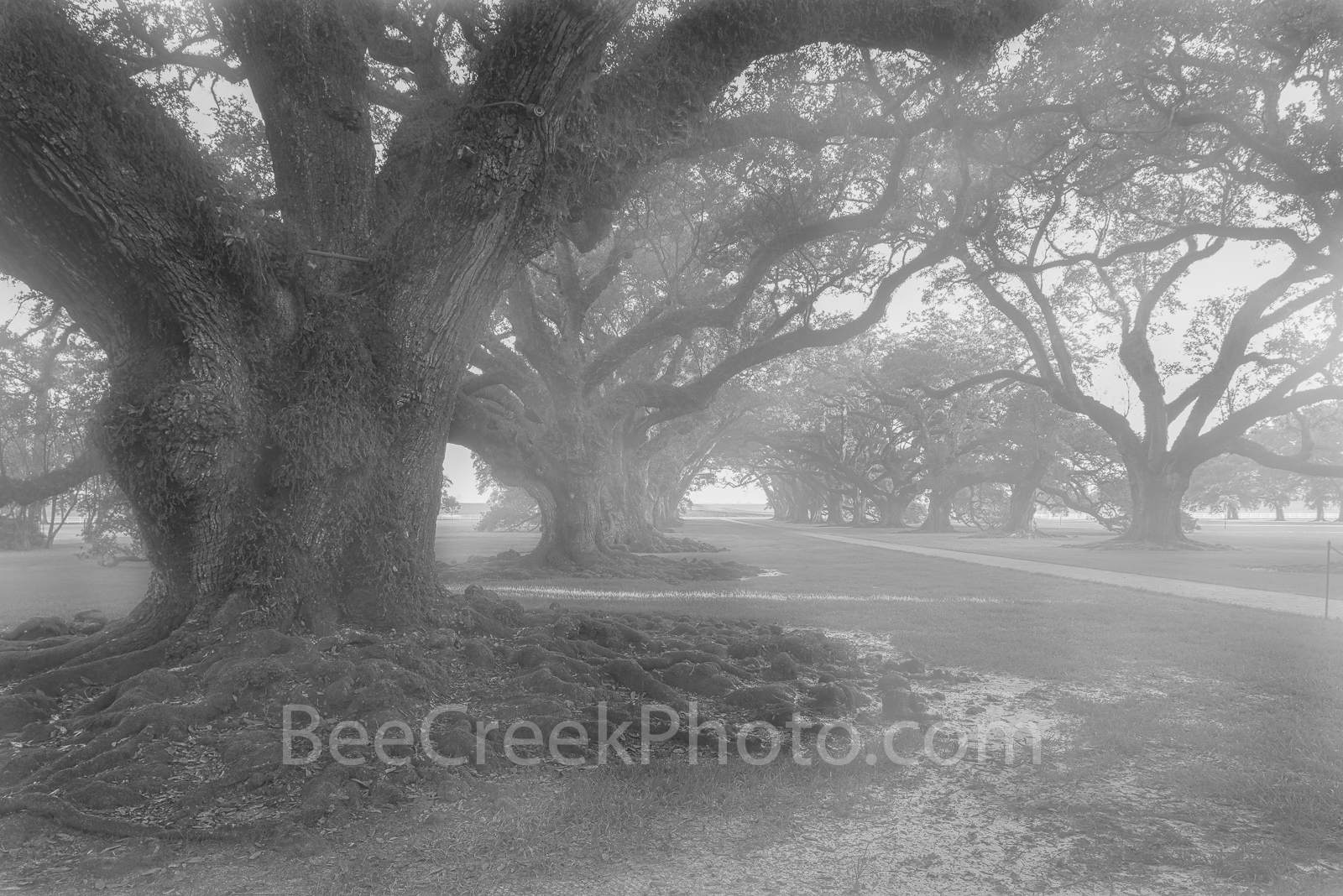 misty, morning, trees, black and white, bw, oak alley trees, deep south, louisiana, mansion, plantation, spooky, mist, live oaks, southern united states, river rd, mississippi river, vacherie, st jame, photo