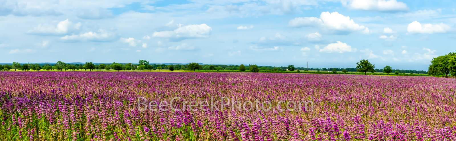 lemon horsemint, flowers, lavendar, purple, pink, field, farmland, crop, farm land, texas hill country, pano, panorama, landscape, commericial crops, seeds, plant, horsemint, blooms, , photo